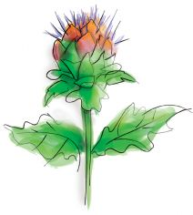 Para q sirve la alcachofa como planta medicinal