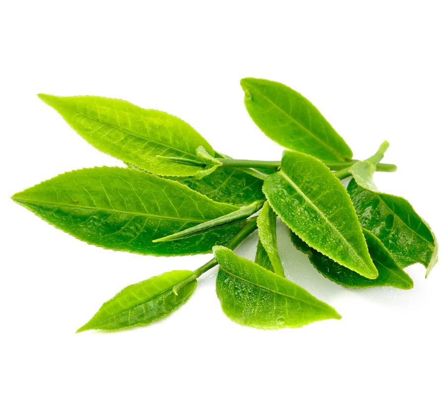 Que planta medicinal sirve para bajar de peso